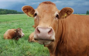 penyakit-antraks-pada-sapi